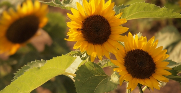 Zum Sortiment von Bakker gehören auch Sonnenblumen