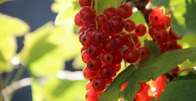 Neben Blumen kannst Du dir bei Baldur-Garten auch Obststäucher bestellen